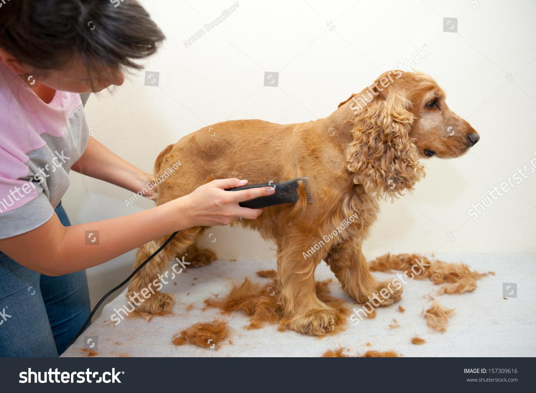 Female Groomer Haircut Cocker Spaniel Stock Photo Edit Now