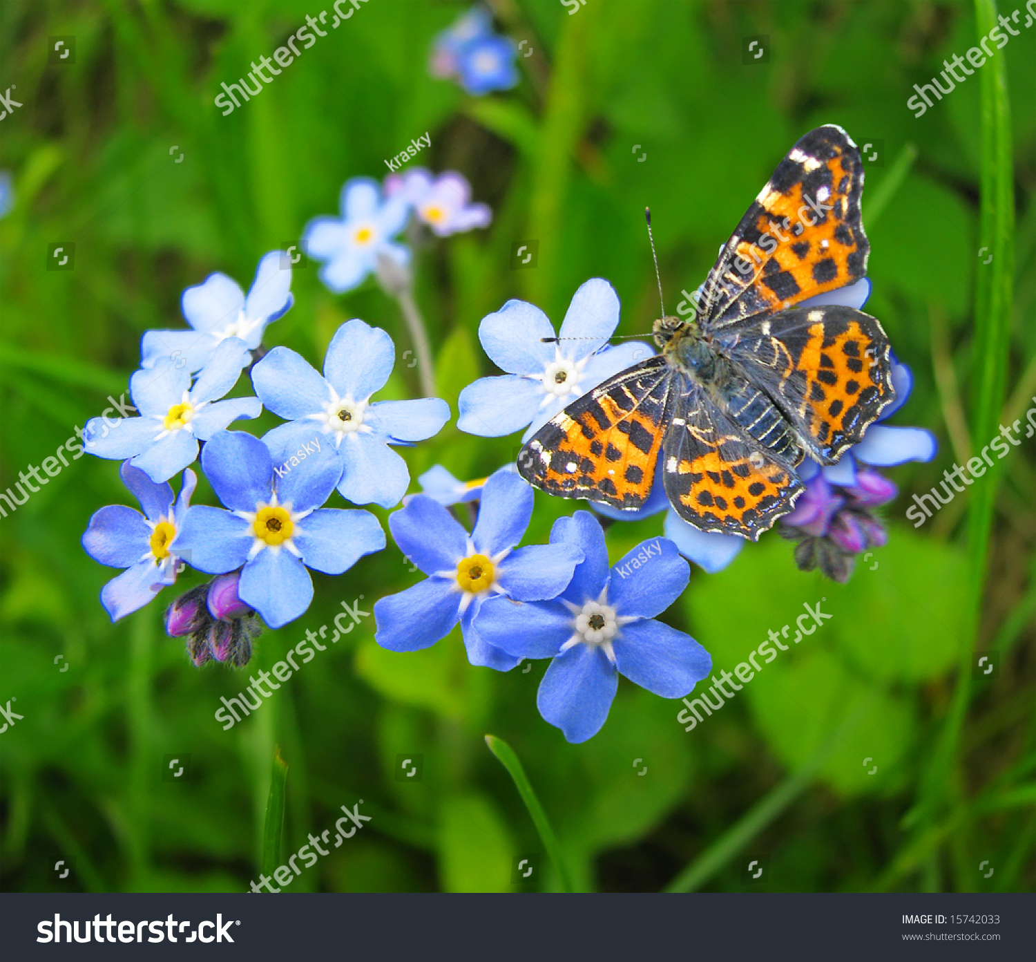 forget me not flowers butterfly stock photo 15742033 shutterstock