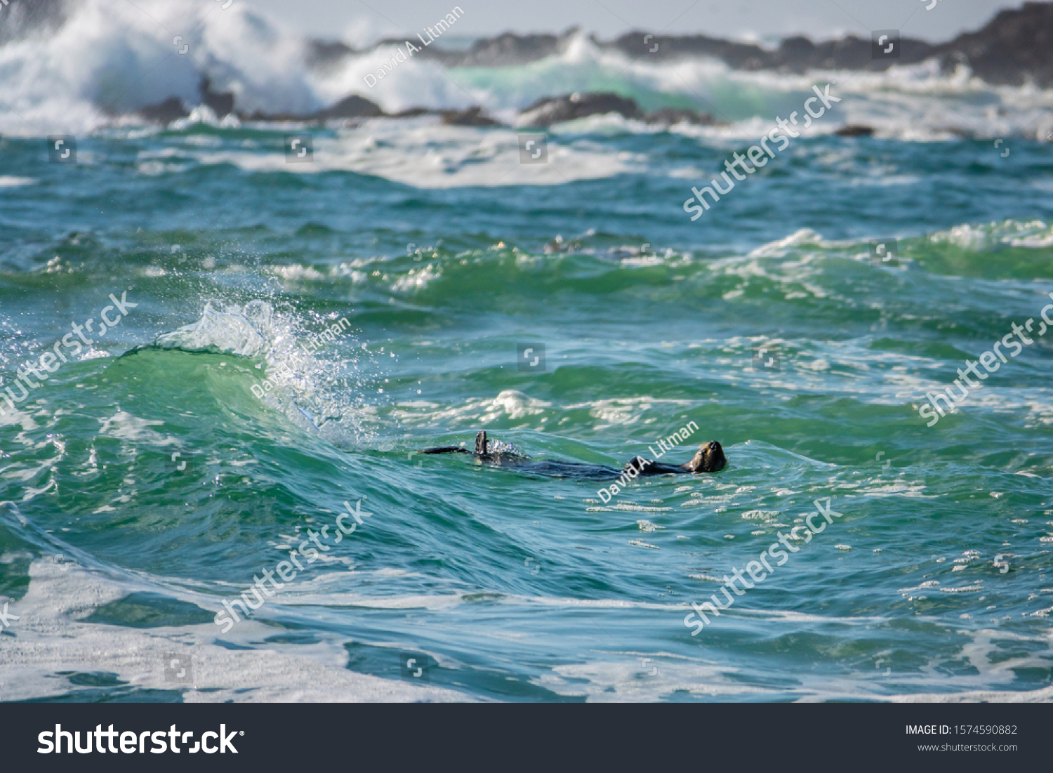 stock-photo-a-southern-sea-otter-enhydra-lutris-floats-on-her-back-in-the-rough-choppy-surf-in-the-waters-1574590882.jpg