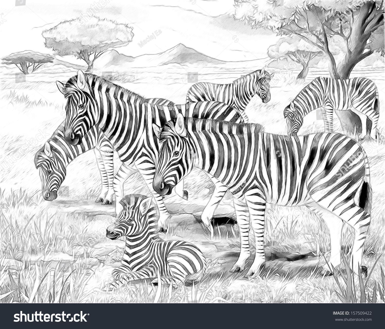 safari zebras coloring page illustration children stock