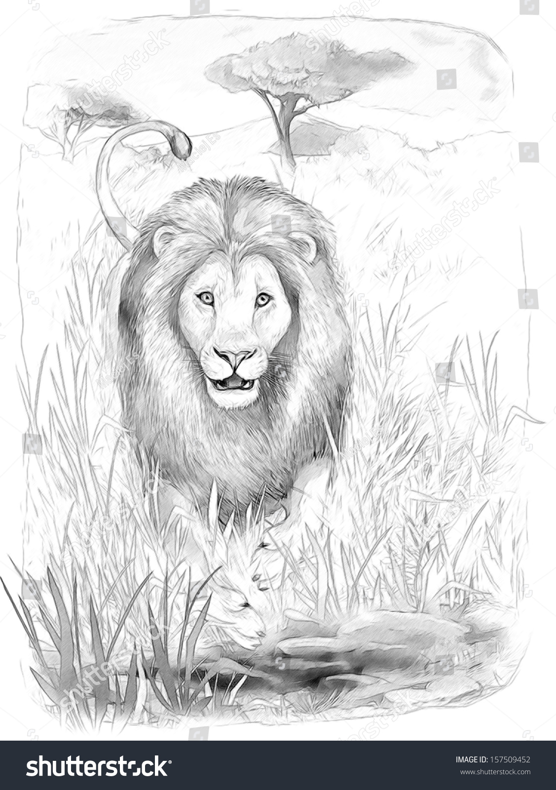 safari lion coloring page illustration children stock illustration