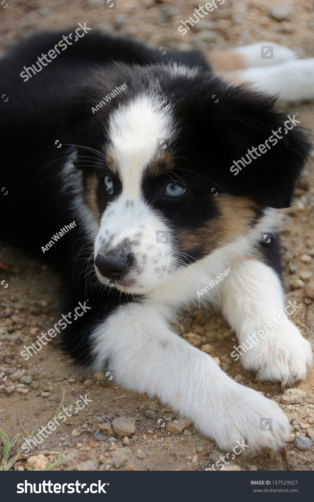Australian Shepherd Puppy Lying Downblack White Stock Photo Edit Now 157529927
