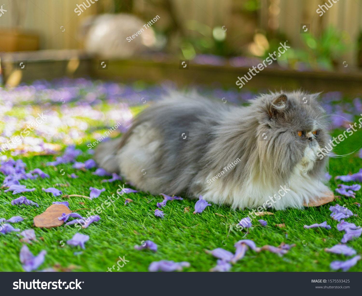 Cute grey and white Persian cat lying on green grass in a garden space with fallen purple flowering around