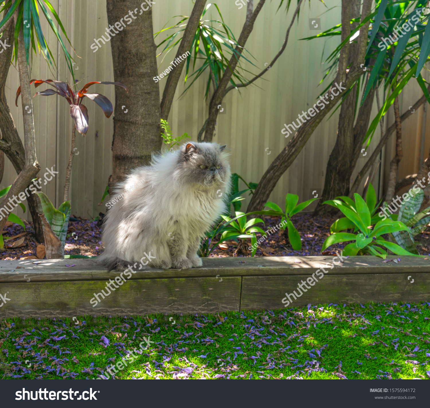 Beautiful Persian cat sitting on a low garden wood fence looking attentively