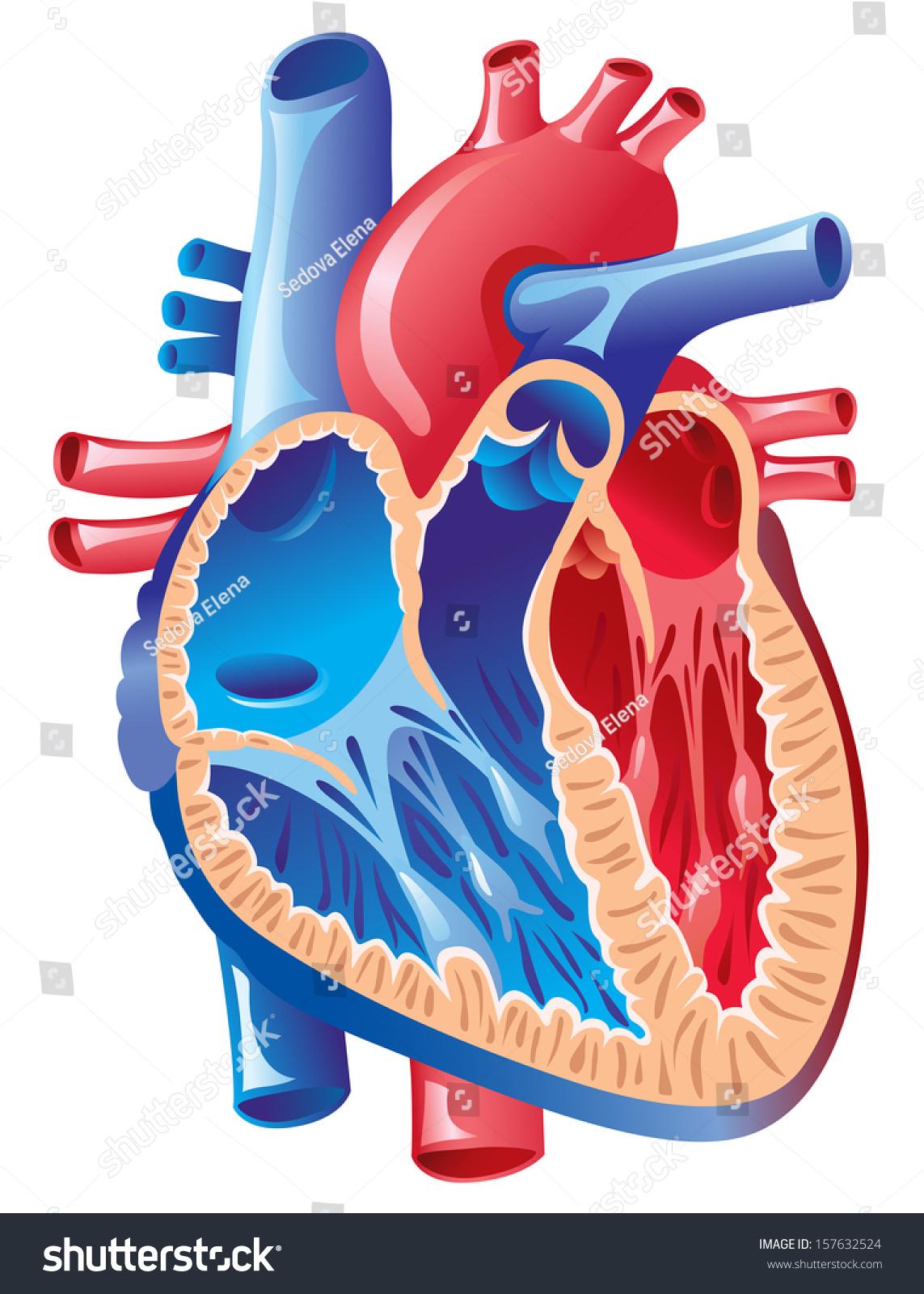 Anatomy Heart Stock Vector 2018 157632524 Shutterstock