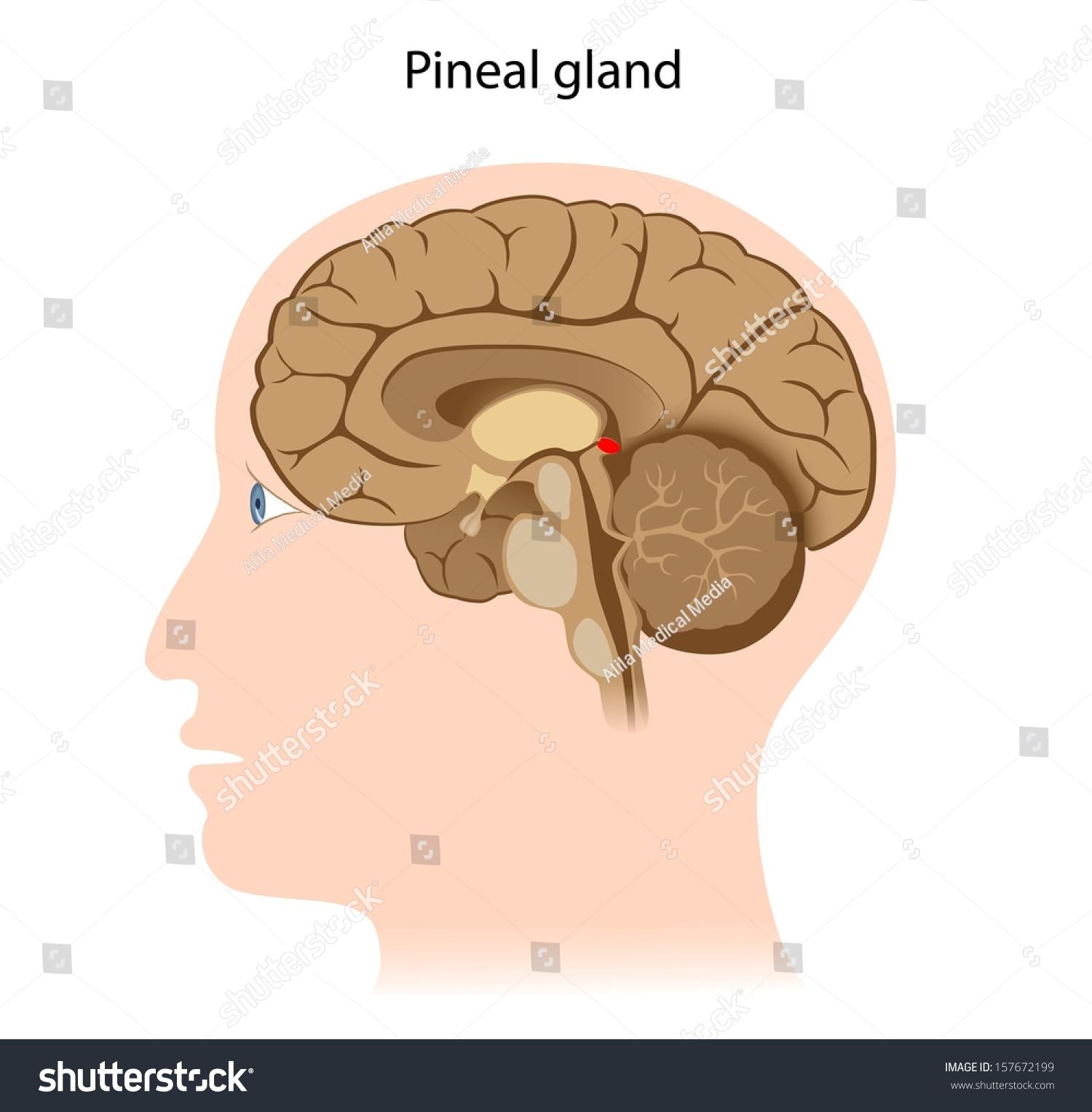 Pineal Gland Stock Illustration 157672199 - Shutterstock