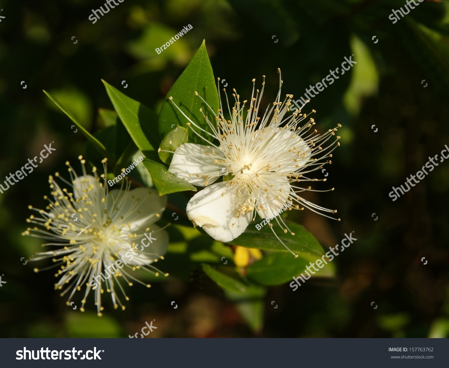 Pretty White Flower Buxus Balearica Stock Photo Edit Now 157763762