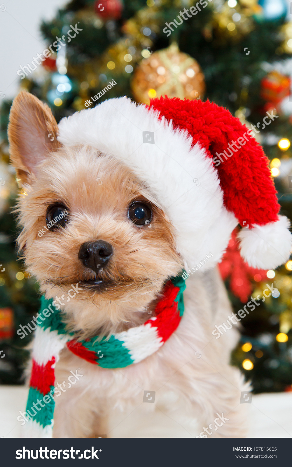 Cute Christmas Puppies.Cute Sitting Yorkshire Terrier Puppy Dog Stock Photo Edit