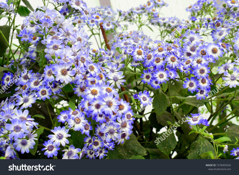 Purple White Senecio Cineraria Images Stock Photos Vectors
