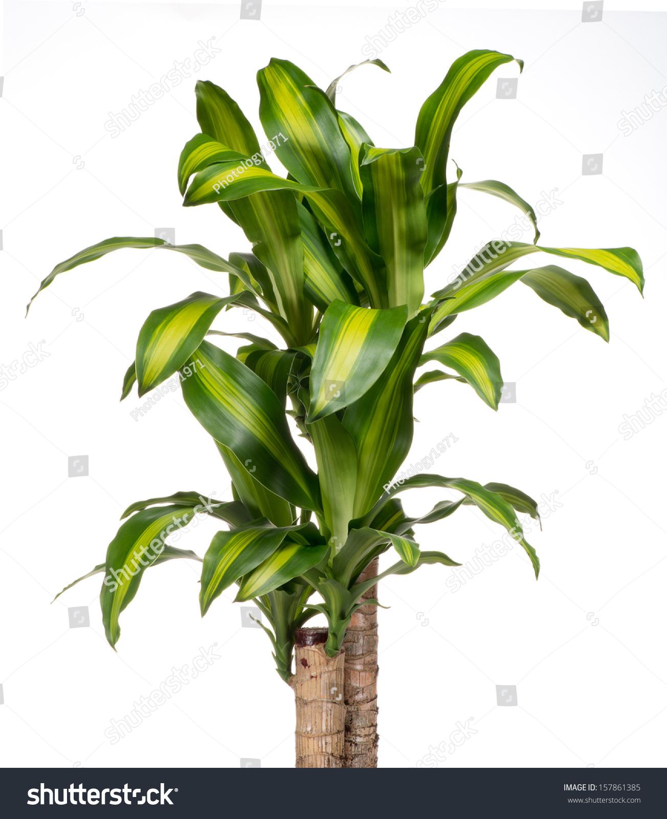 Ornamental Variegated Foliage Yucca Plant Cultivated Stock