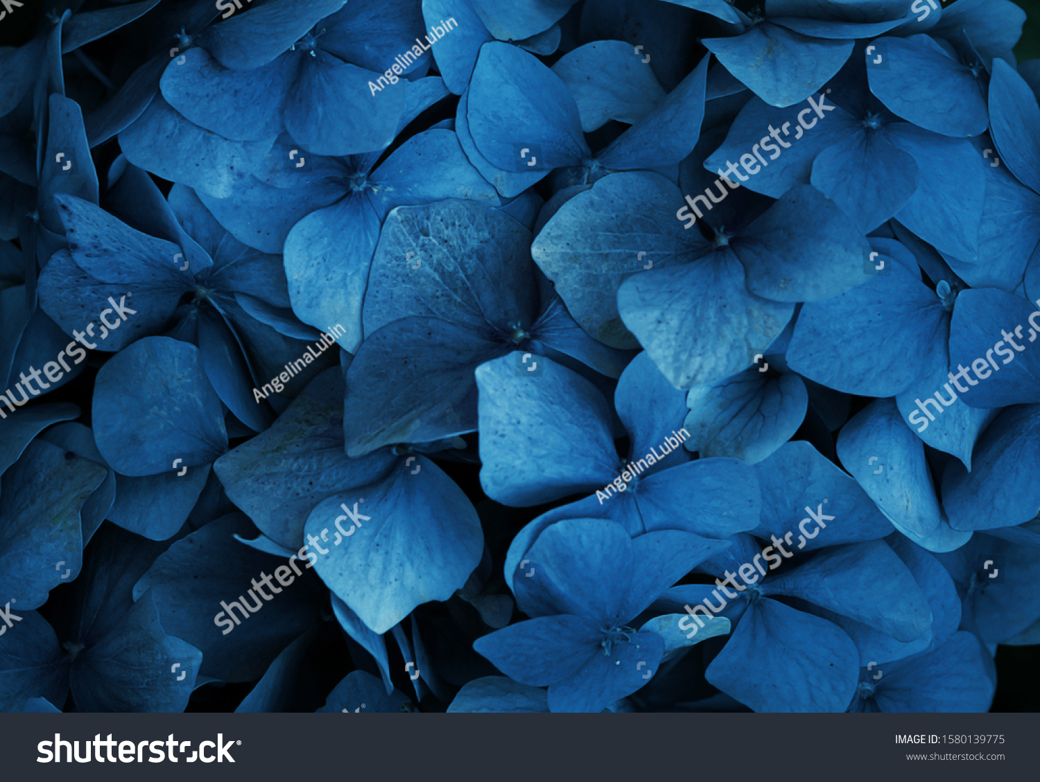 Trend color 2020 classic blue, top view, layout for design.Hydrangea  flower in trendy blue color. Trendy color concept of the year, classic blue background.  #1580139775
