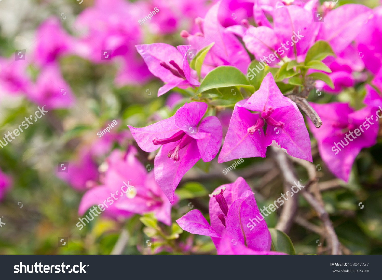 Pink Bougainvillea Paper Flower In Dept Of Field Ez Canvas