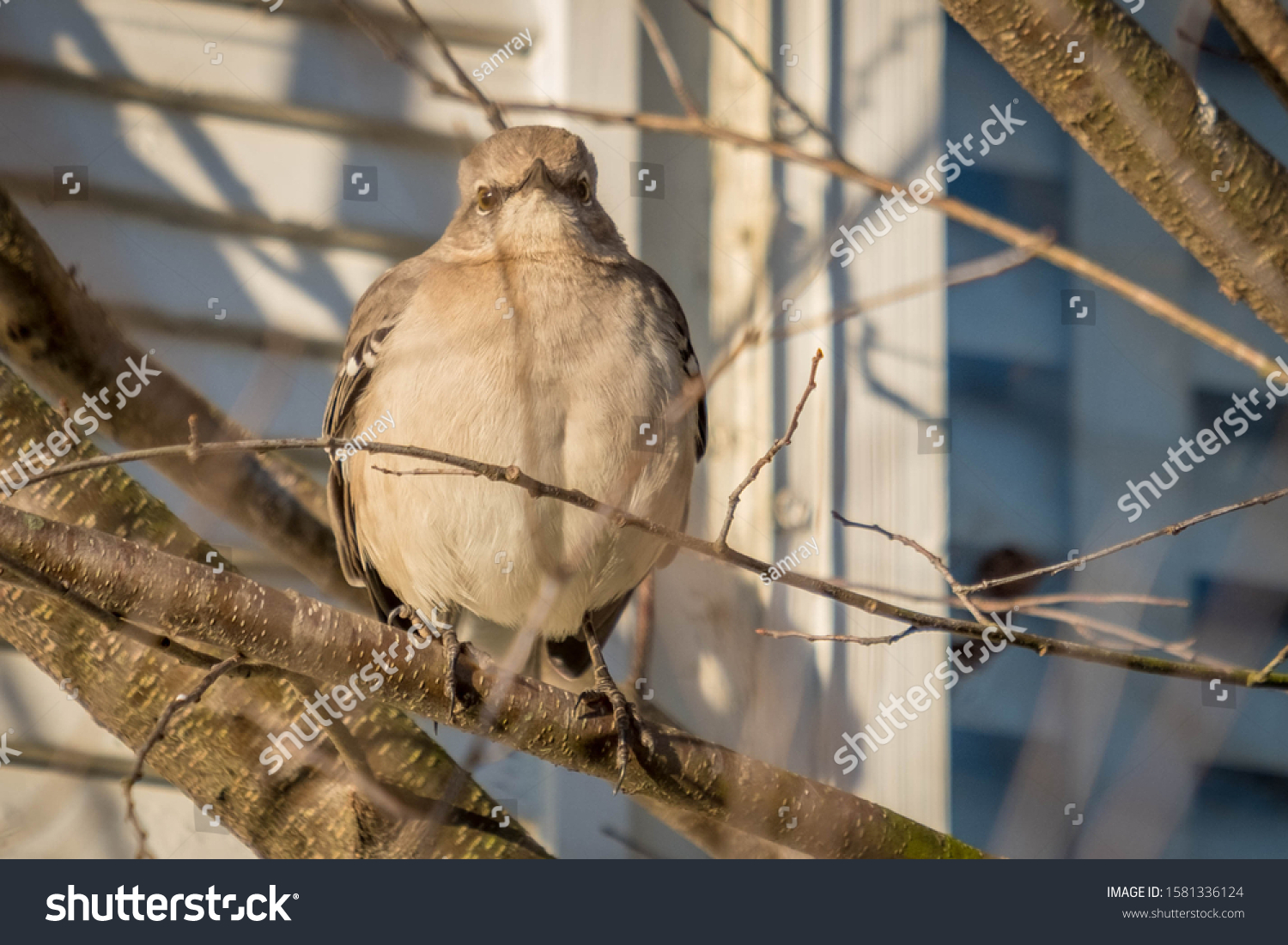 A humorous image of a Northern Mockingbird puffed up into a sphere as if it ate a tennis ball. Raleigh, North Carolina.