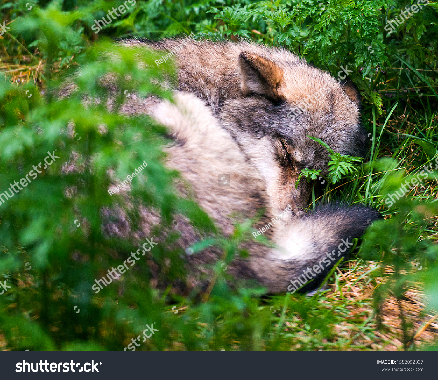 Wolf animal close-up profile view sleeping with a foreground and background foliage focus at the background  in the forest displaying displaying its fur coat, ears, close eyes, tail.   #1582092097