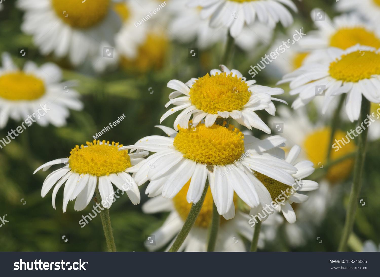Chamomile chamaemelum nobile group white daisy stock photo 158246066 chamomile chamaemelum nobile group of white daisy like flower izmirmasajfo Images