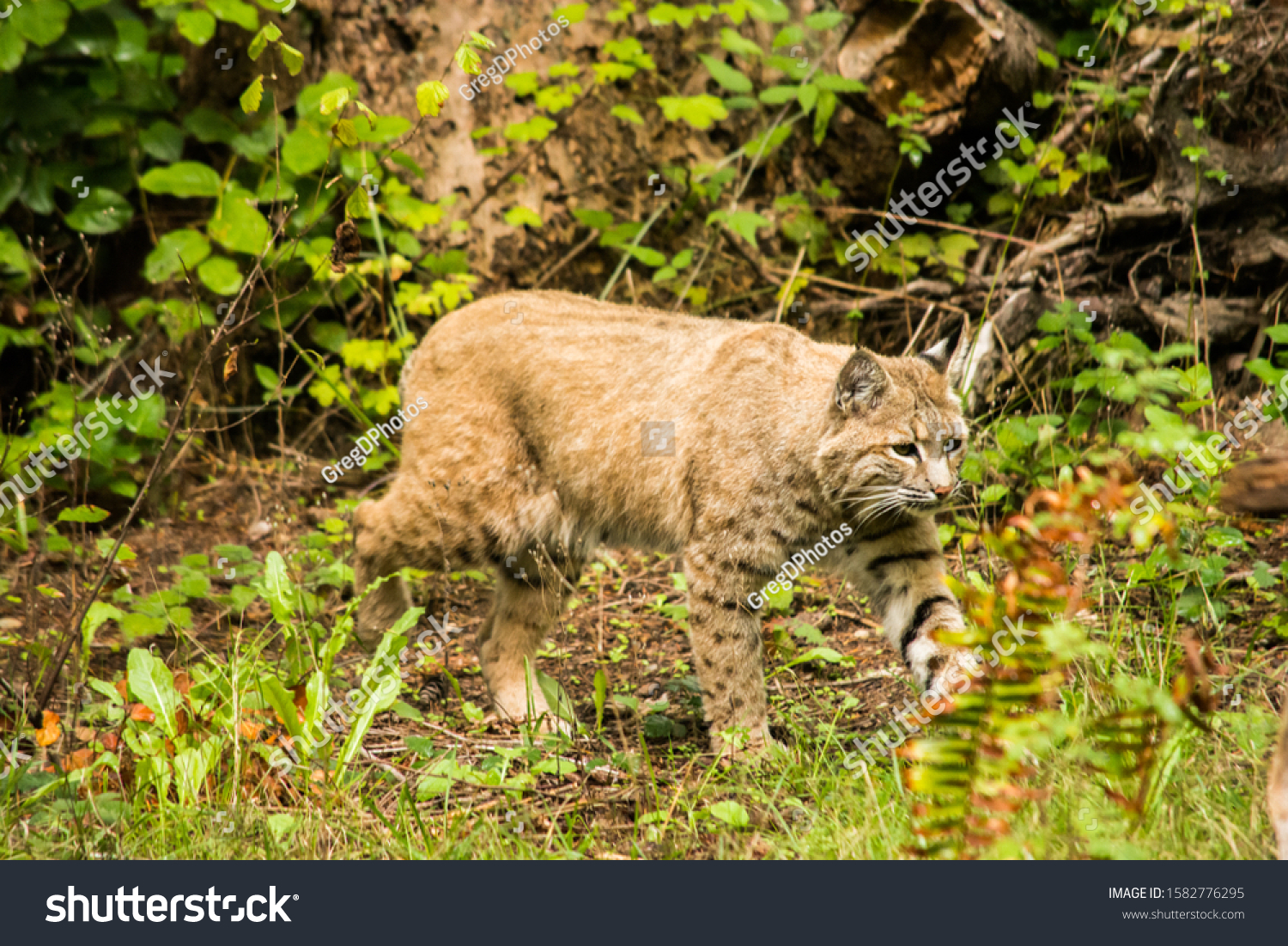 bobcat Lynx rufus prowling around for lunch