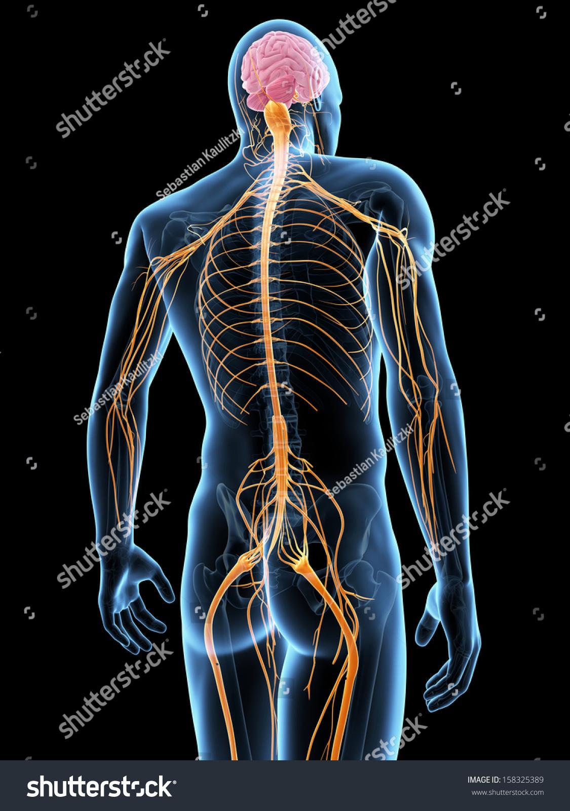 Medical Illustration Nervous System Stock Illustration 158325389 ...