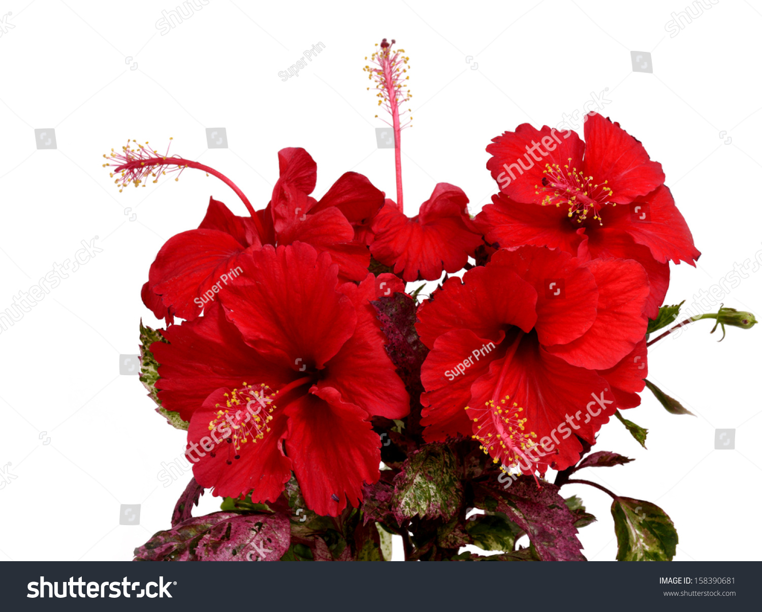 Beautiful Bouquet Chinese Red Hibiscus Flower Stock Photo Edit Now