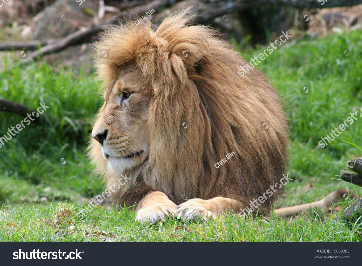 Lion Side View Stock Photo 15839263 - Shutterstock