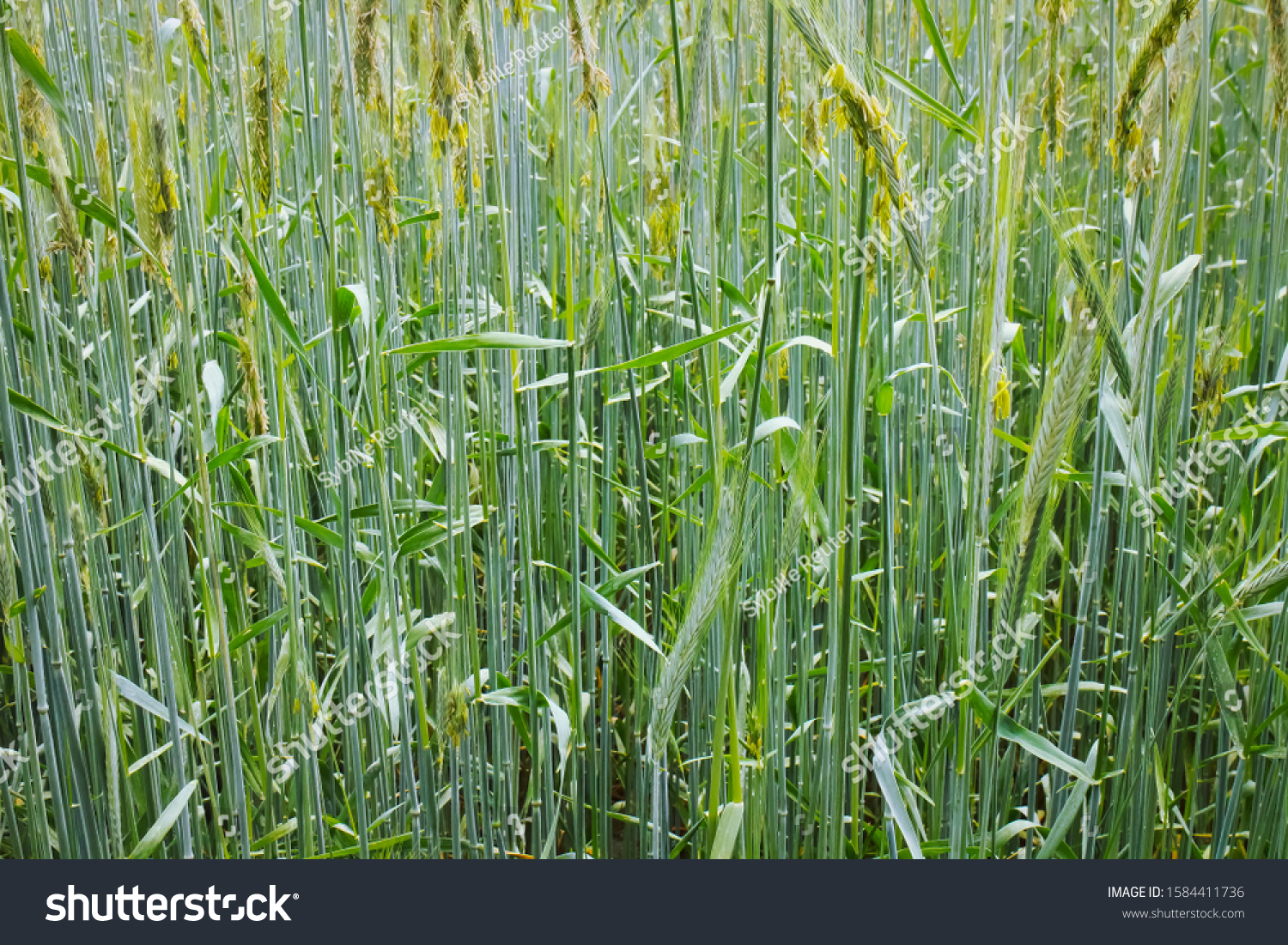 stock-photo-young-wheat-crops-on-an-agri