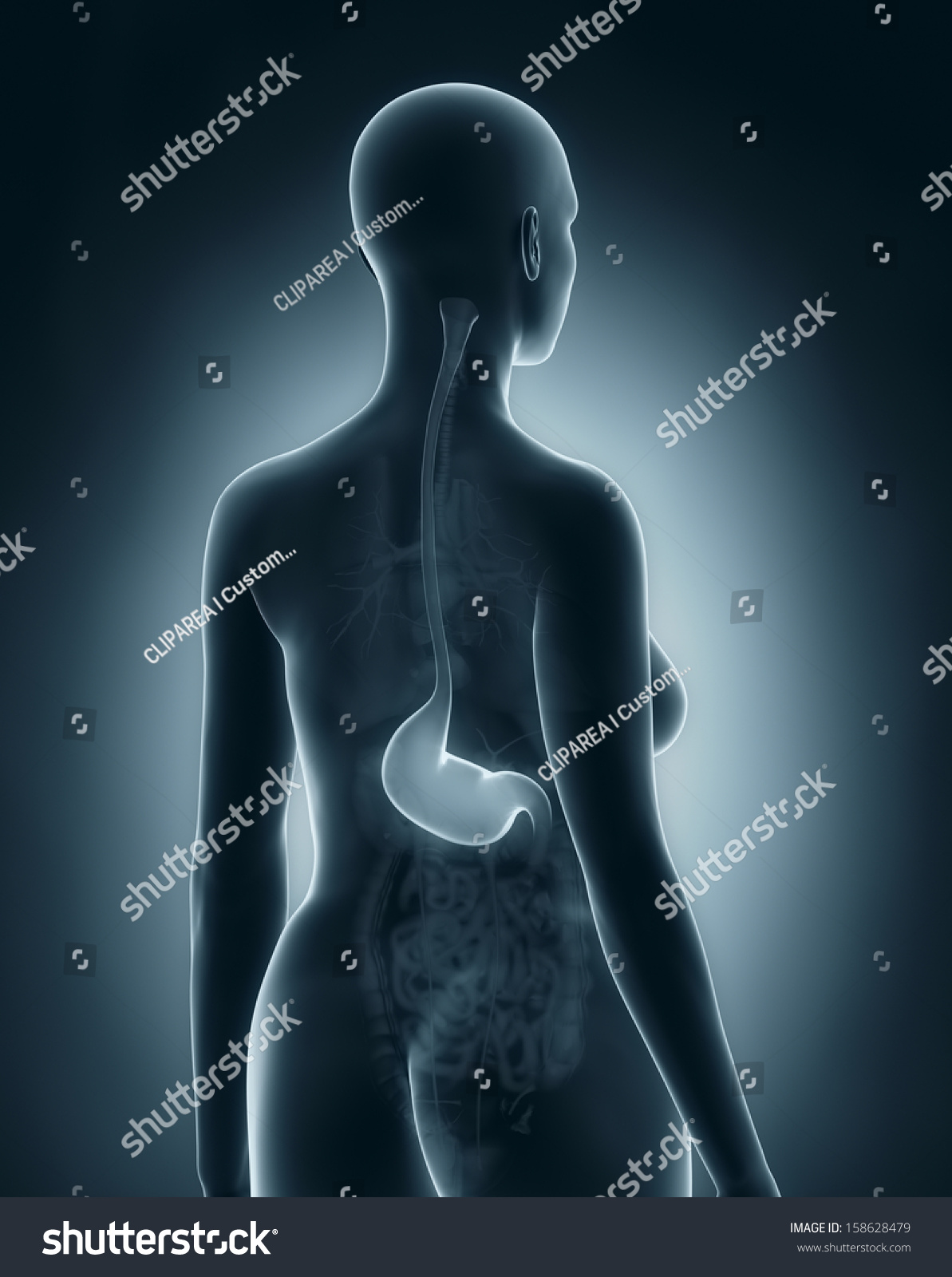 Woman stomach anatomy xray black posterior stock illustration woman stomach anatomy xray black posterior stock illustration 158628479 shutterstock ccuart