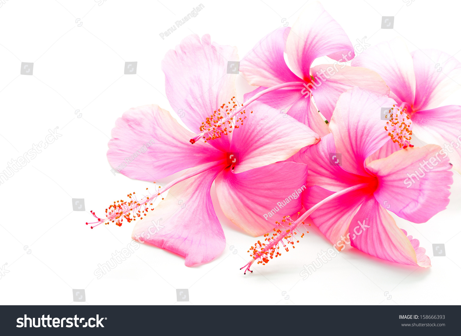 Colorful Pink Hibiscus Flower Isolated On Stock Photo 158666393