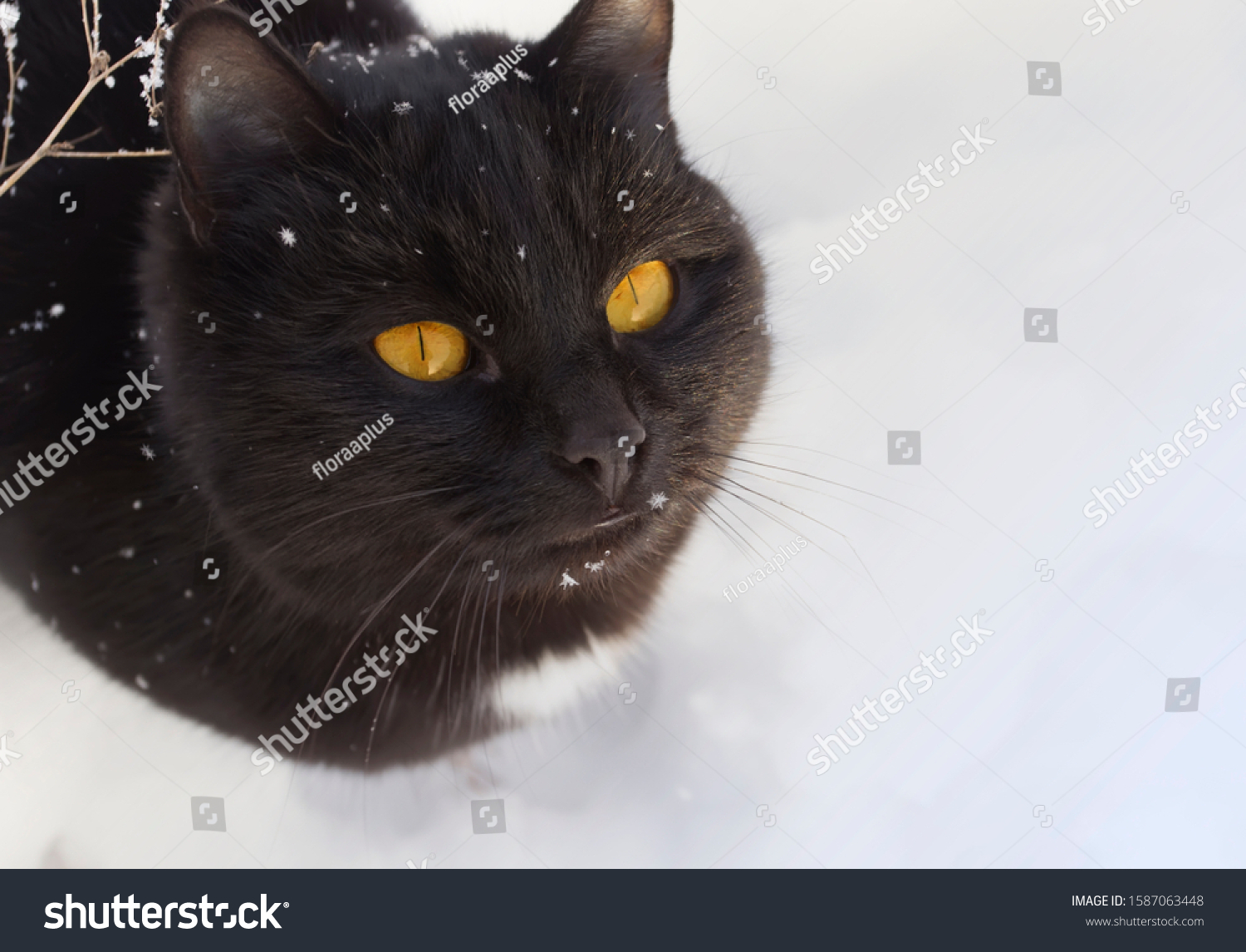 Winter portrait of a black cat with bright yellow eyes. A pet in a snow garden.