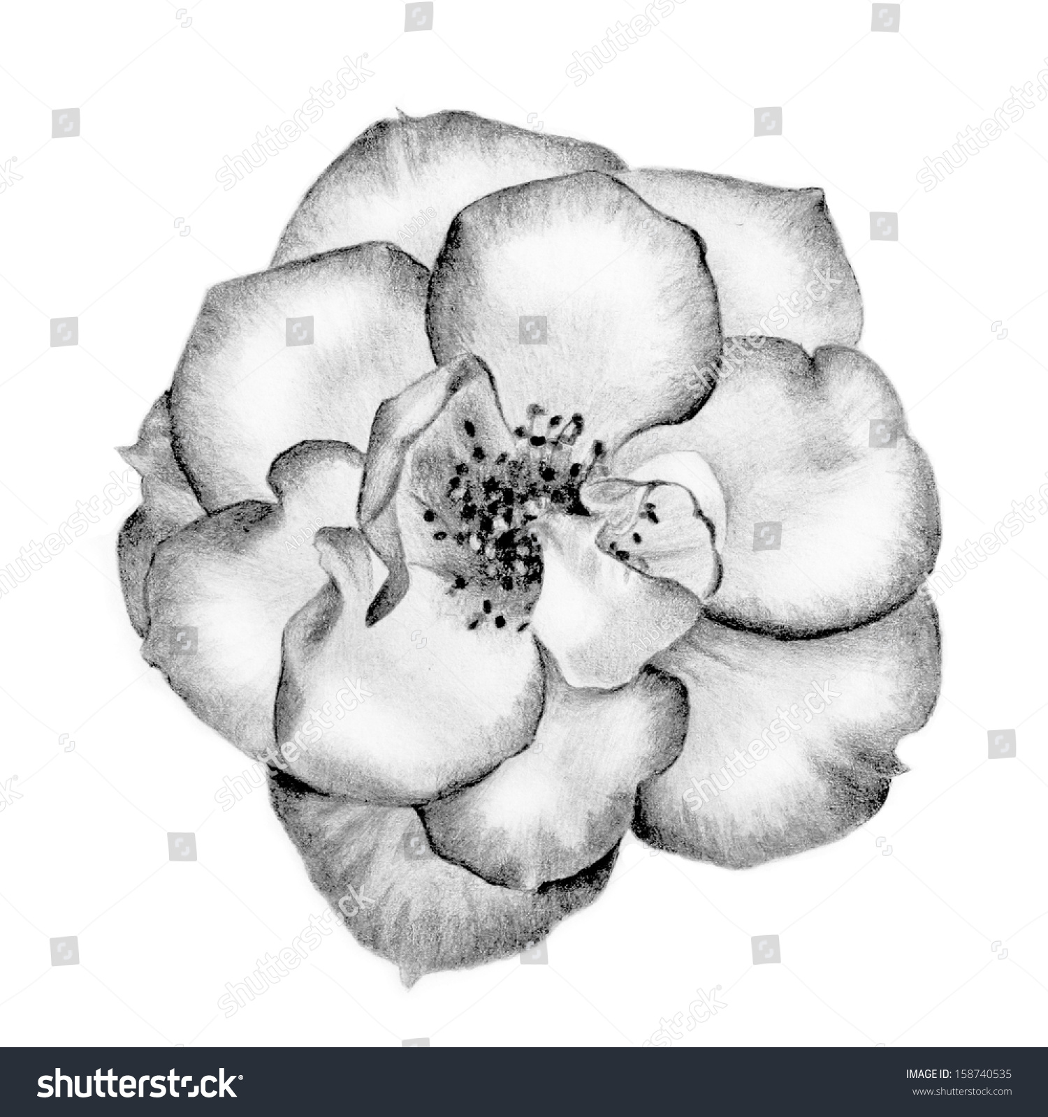 Beautiful Hand Drawn Wild Rose Pencil Stock Illustration 158740535