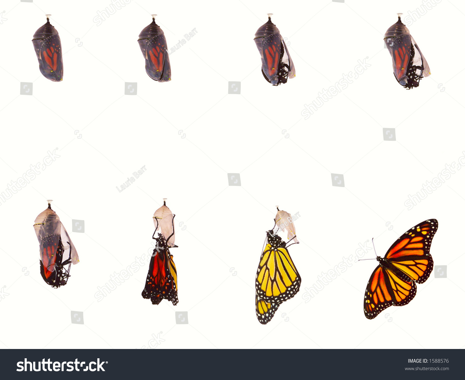 monarch butterfly emerging chrysalis eight stages stock photo