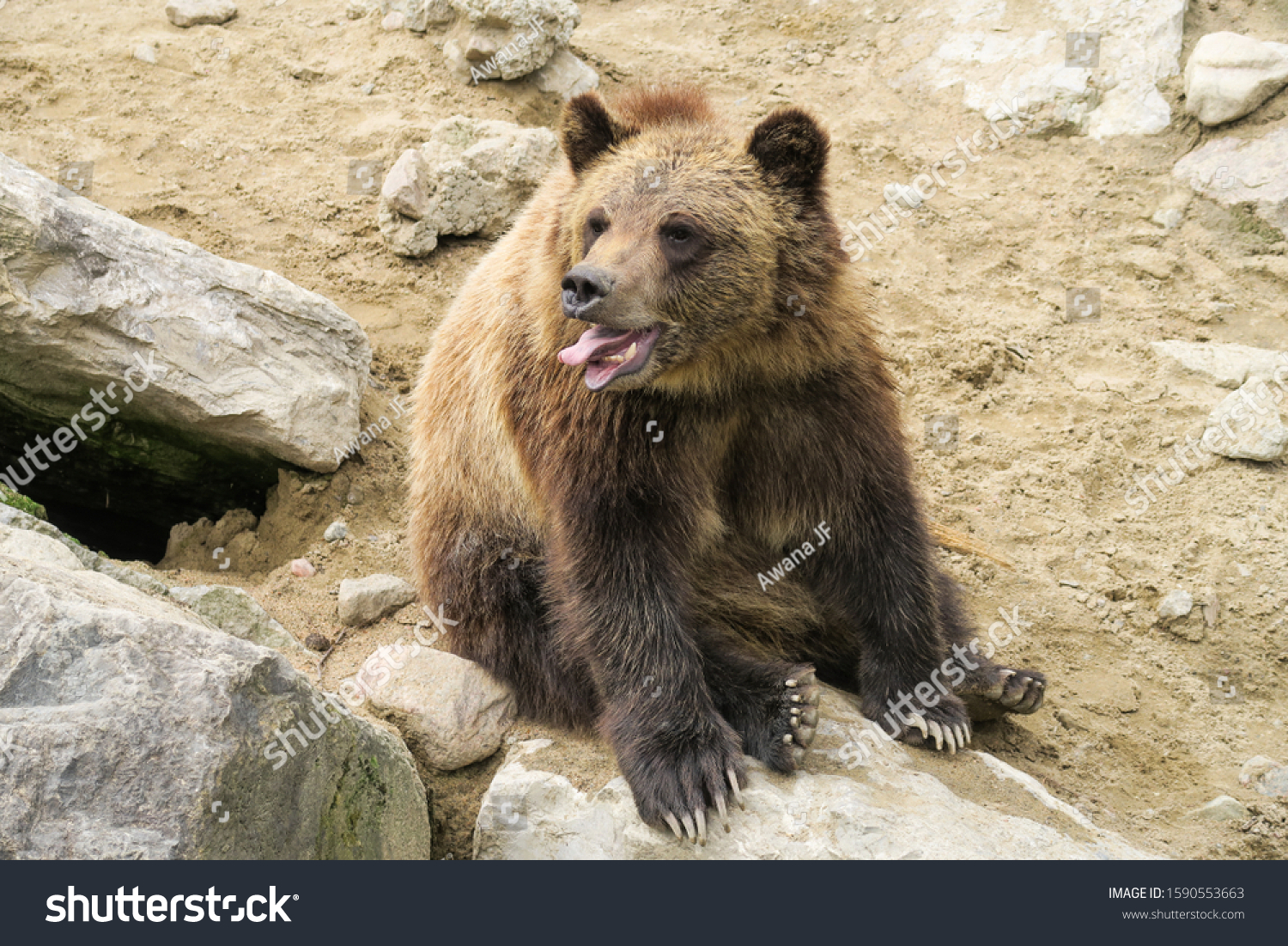 stock-photo-grizzly-bear-sitting-on-a-ro