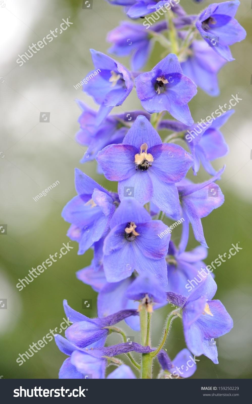 Raceme Blue Delphinium Flowers Stock Photo Edit Now 159250229