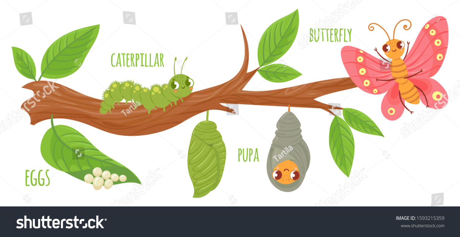 Cartoon Butterfly Life Cycle Caterpillar Transformation Stock Vector Royalty Free 1593215359