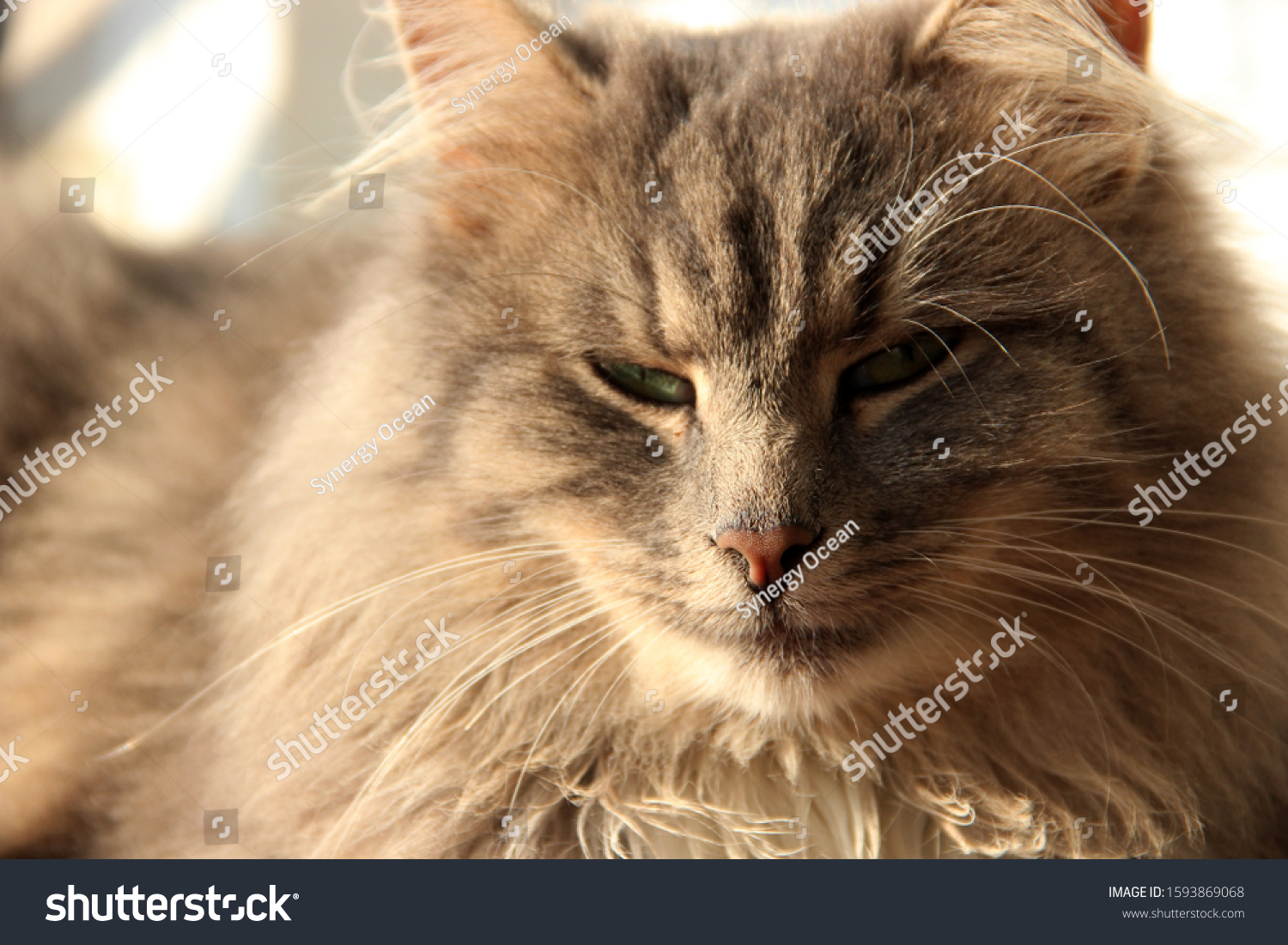 Beautiful Cute Fluffy Gray Cat Pets Stock Photo Edit Now 1593869068
