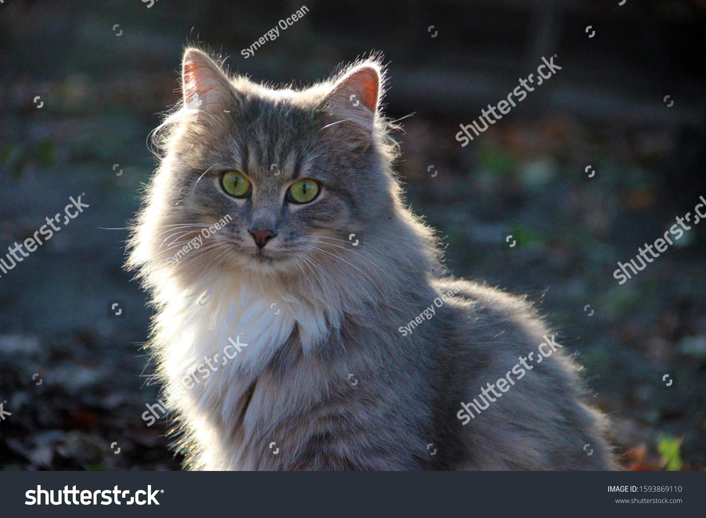 Beautiful Cute Fluffy Gray Cat Pets Stock Photo Edit Now 1593869110