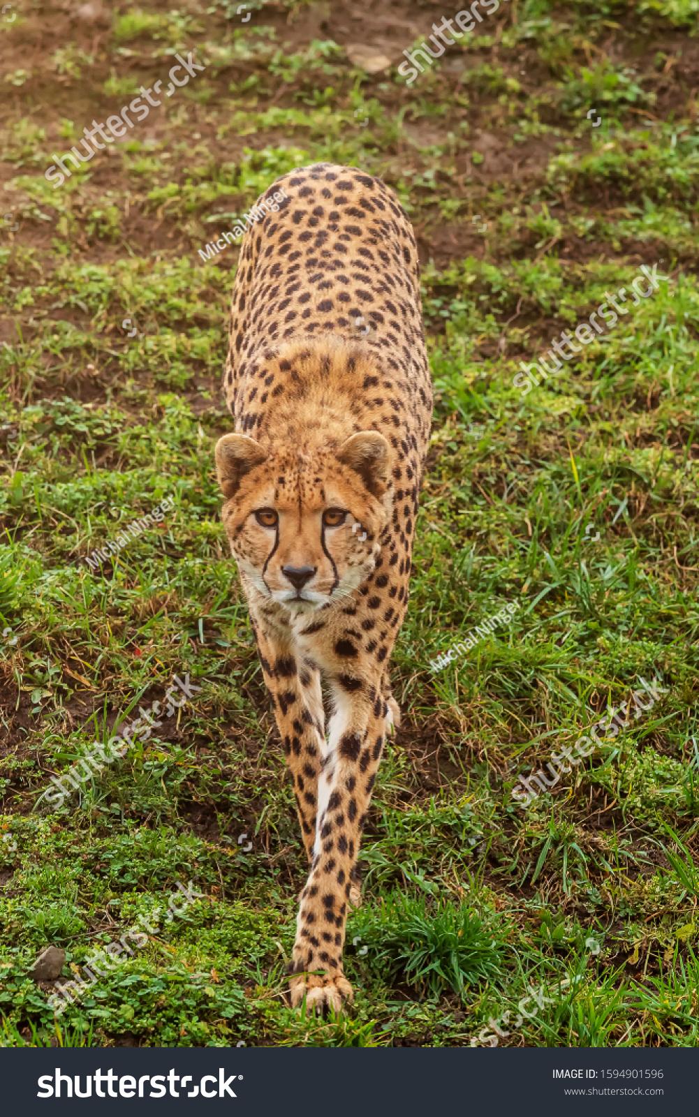 shy cheetah (Acinonyx jubatus) is walking down hill