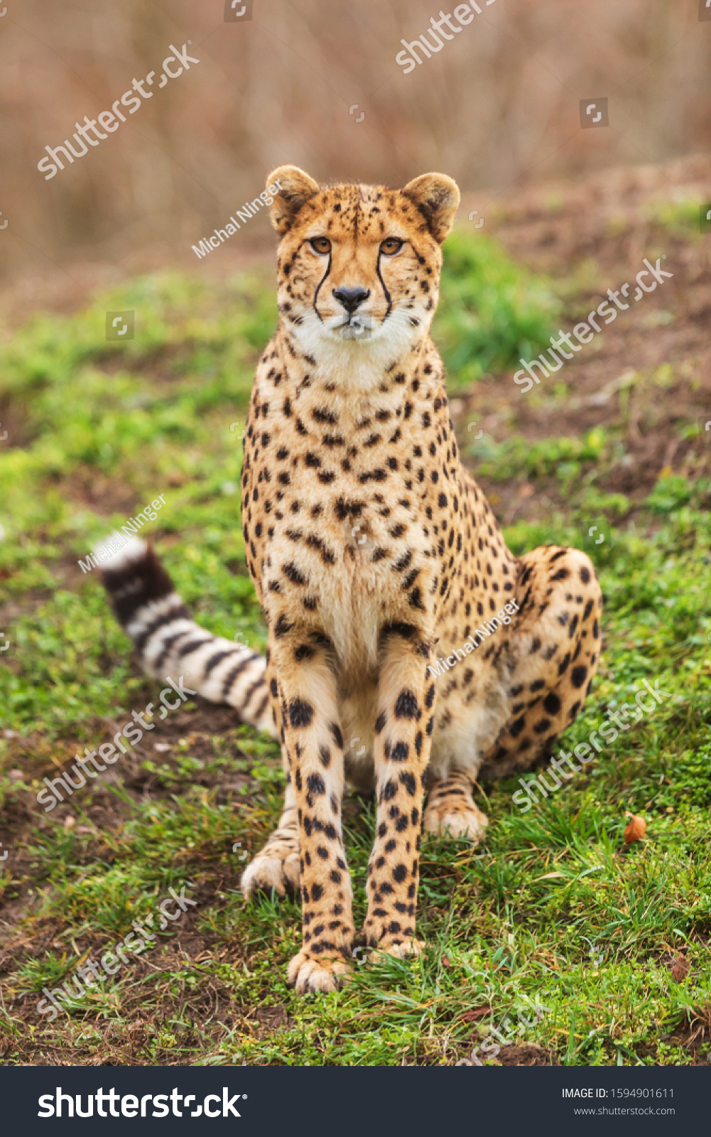 cheetah (Acinonyx jubatus) is sitting
