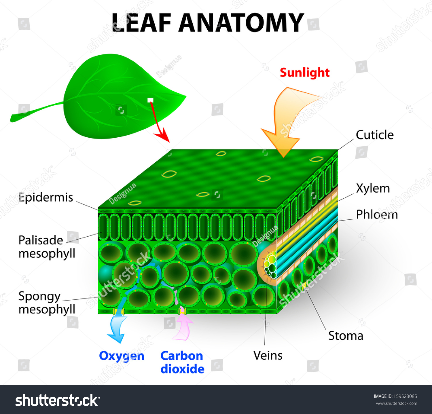 Anatomy Of A Leaf Diagram Search For Wiring Diagrams