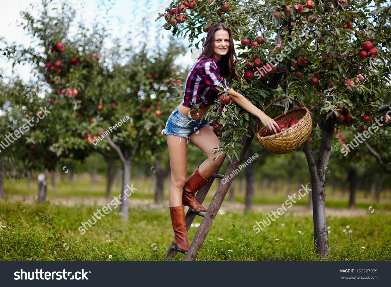 Beautiful sexy woman picking apples on a ladder