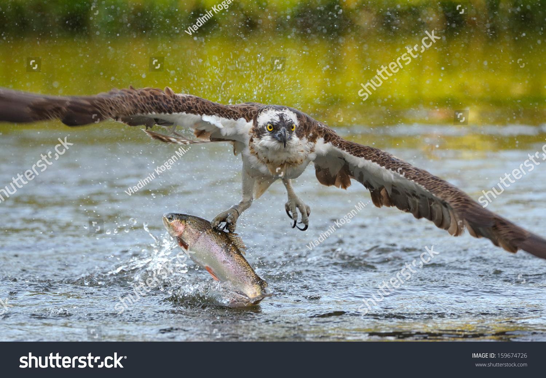 Osprey catching fish stock photo 159674726 shutterstock for Osprey catching fish