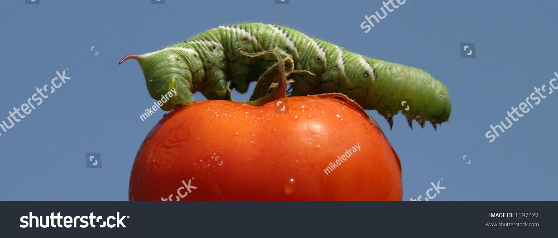 A Tomato Horn Worm Caterpillar, (Manduca Quinquemaculata ...