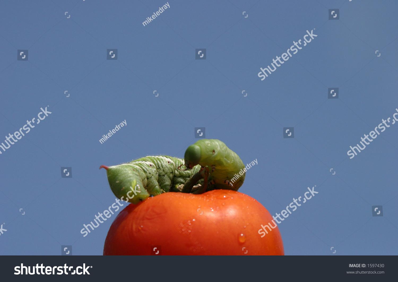 Tomato Horn Worm Caterpillar Manduca Quinquemaculata Stock ...