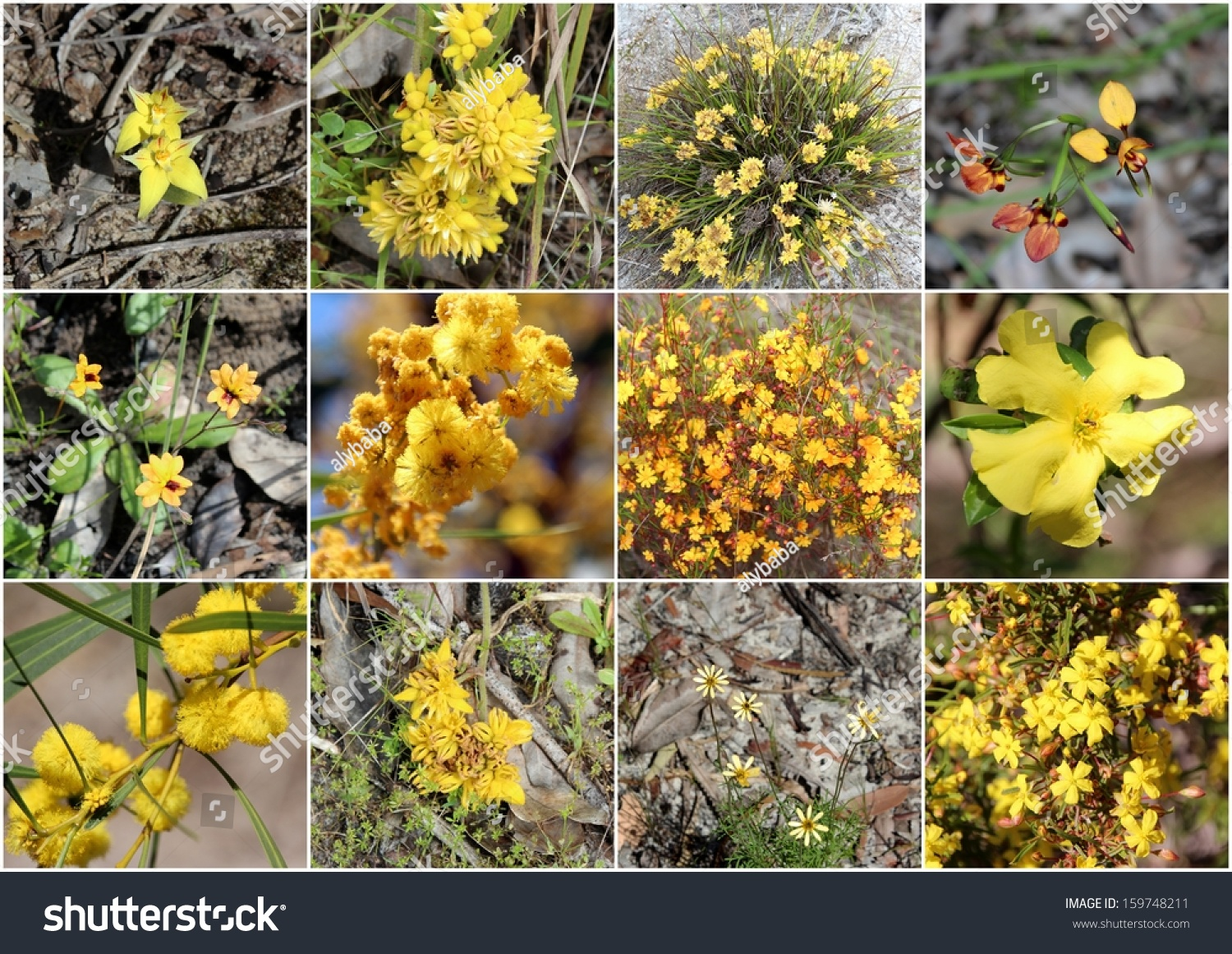 Outstanding Collage Rare Yellow Wild Flowers Stock Photo Royalty