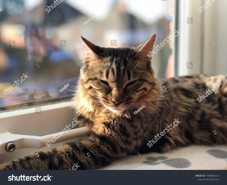 Sleepy Bengal Cashmere Female Indoor Cat Stock Photo Edit Now 1598055121