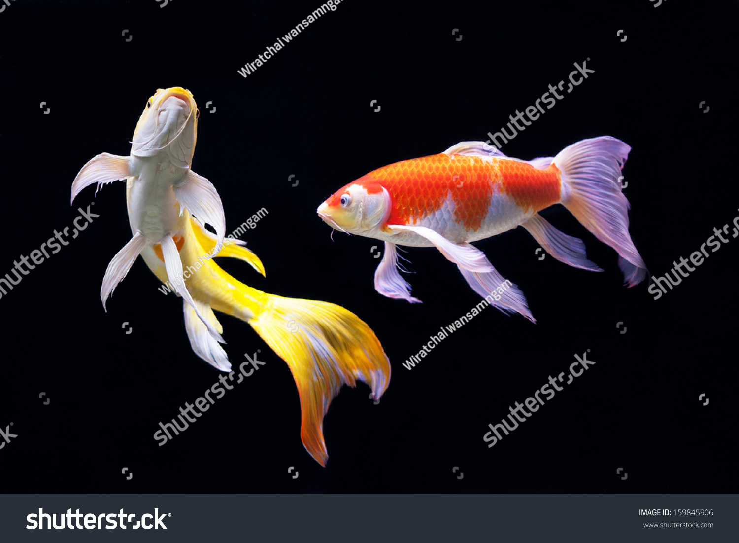 Beautiful koi carp swimming pond stock photo 159845906 for Koi swimming
