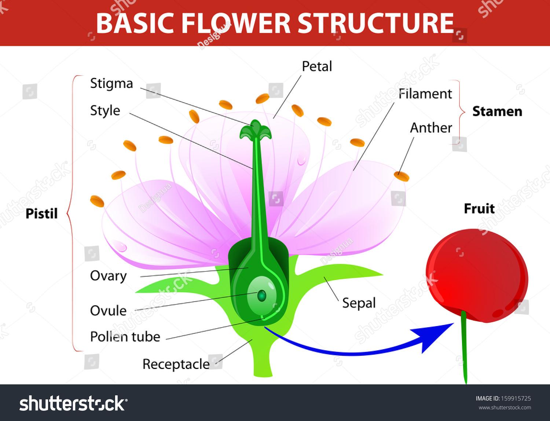 Anatomy Cherry Flower Flower And Fruit Vector Diagram Shut