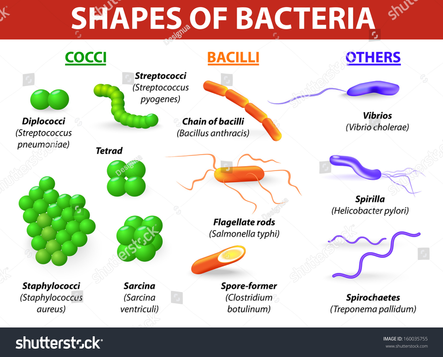 Common bacteria infecting human vector illustration stock vector common bacteria infecting human vector illustration bacteria are classified into 5 groups according to their ccuart Choice Image