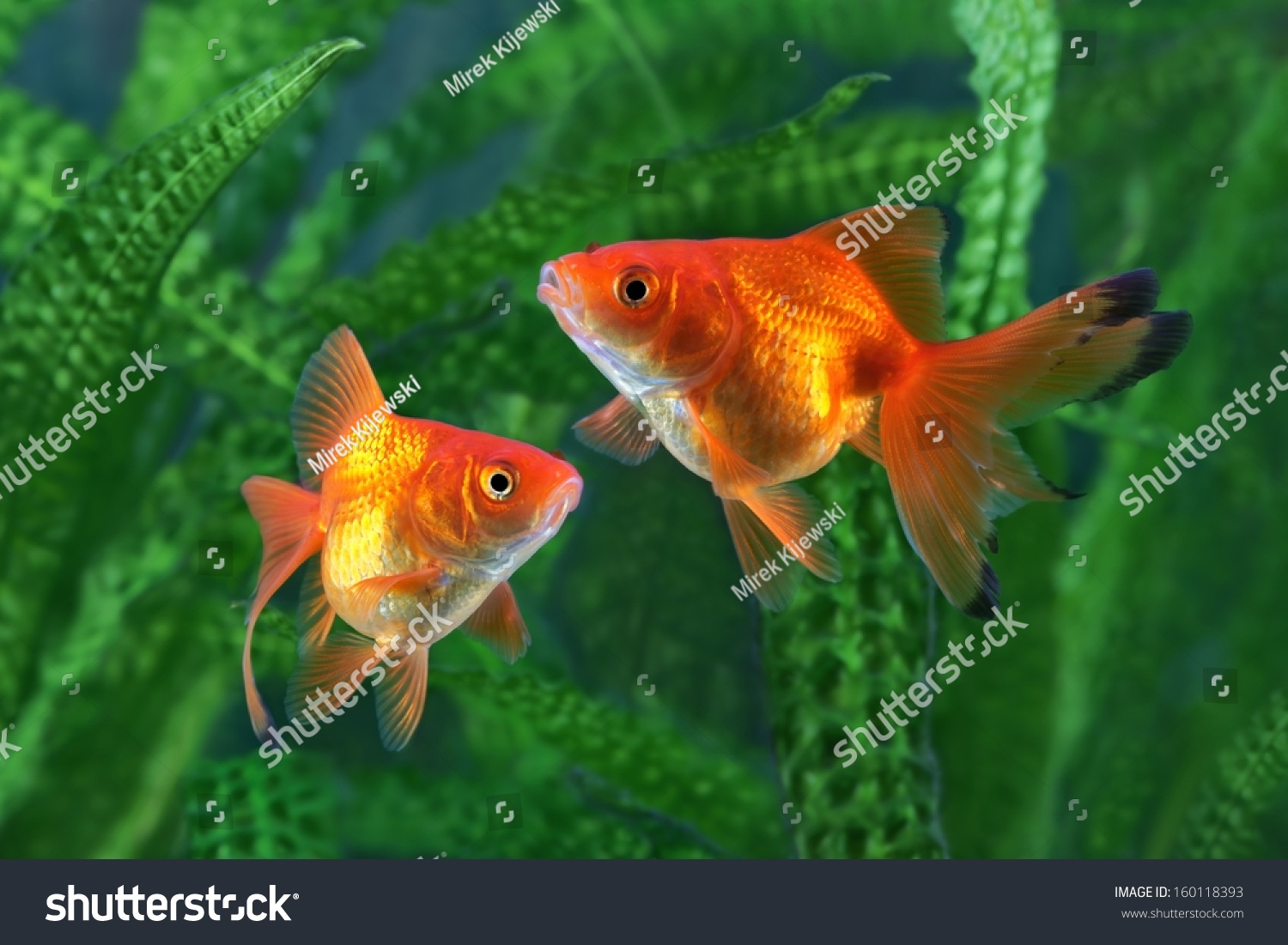 Red Blood Parrot Cichlid in aquarium plant green background. Funny ...