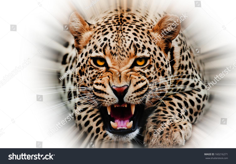 White jaguars animals
