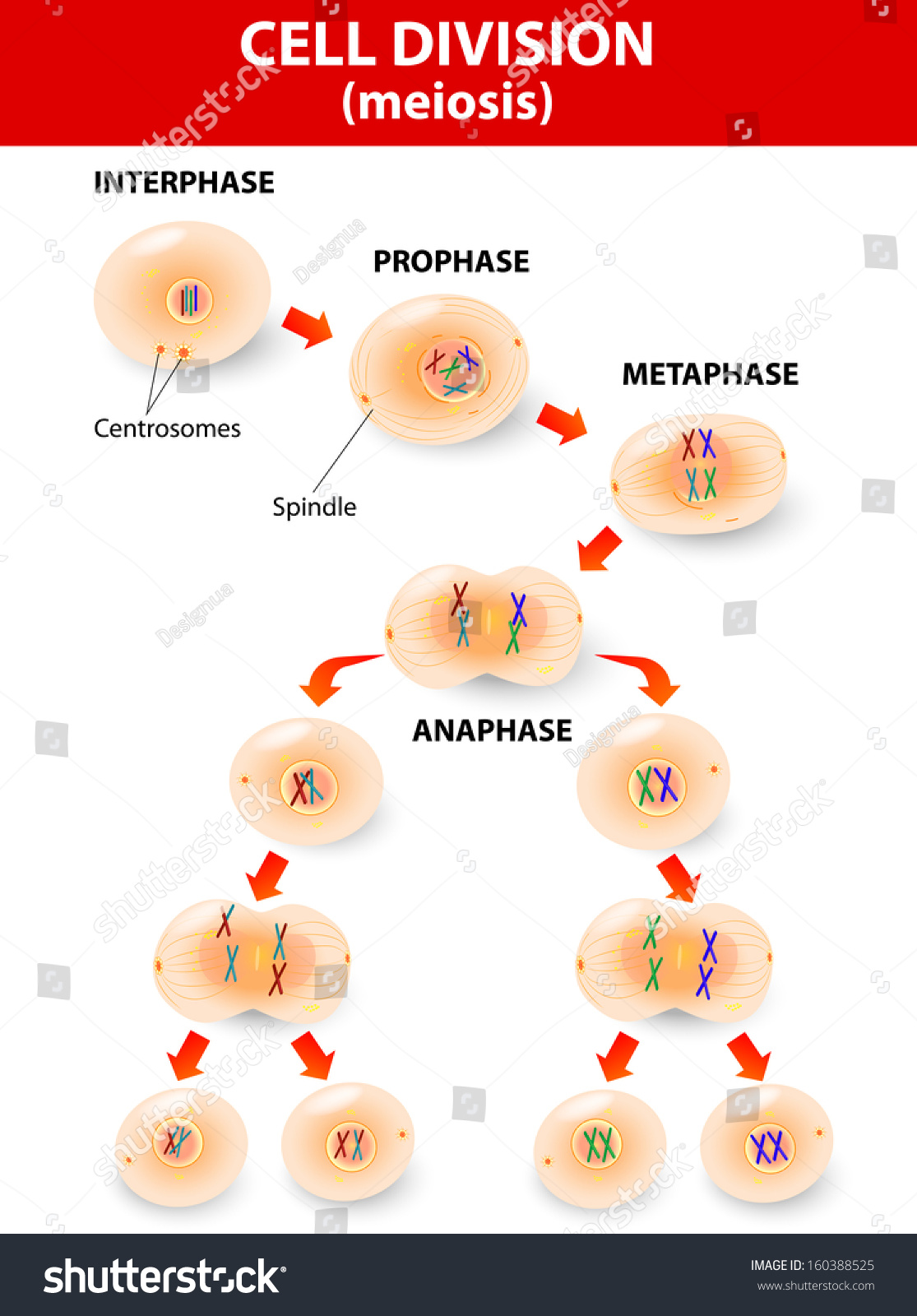 Meiosis cell division vector diagram stock vector 160388525 cell division vector diagram pooptronica Images