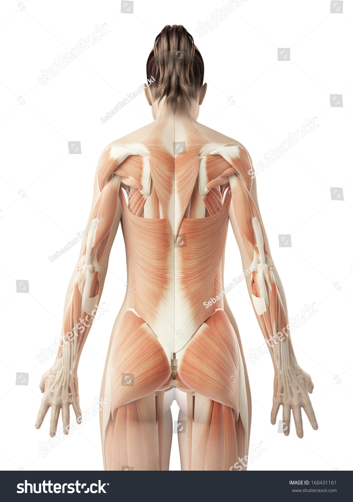 Female Back Muscles Stock Illustration 160431161 - Shutterstock